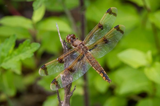Painted Skimmer Dragonfly v2 PP 5 17_MG_7958
