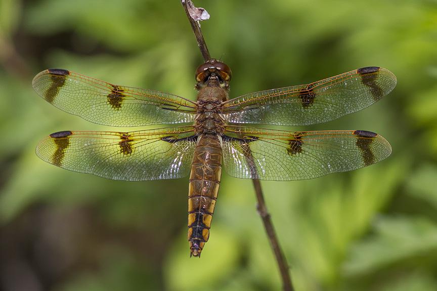 Painted Skimmer Dragonfly v2 PP 5_17_MG_7988