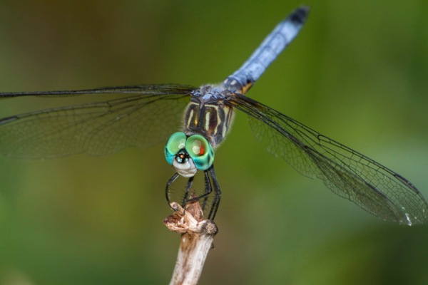 Blue Dasher v1_MG_9455