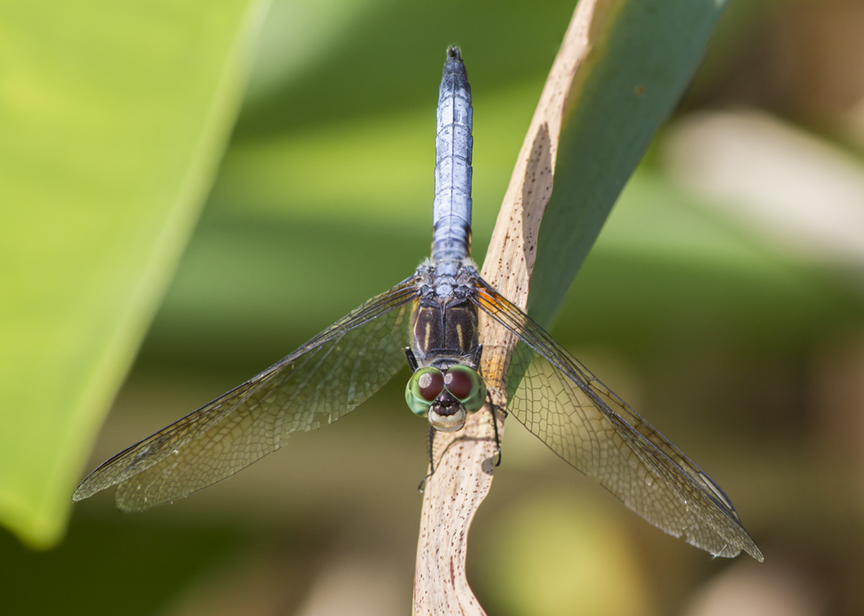 Blue Dasher v2 2img stk