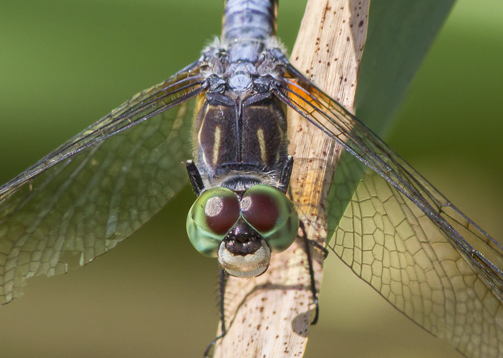 Blue Dasher v2 CU 2img stk