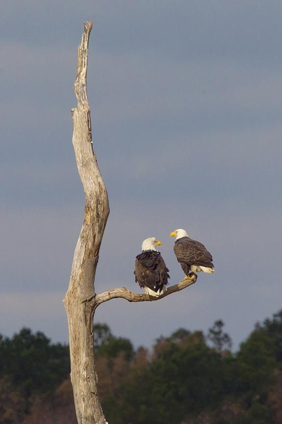 Eagles snag v4 BWR_43G0696