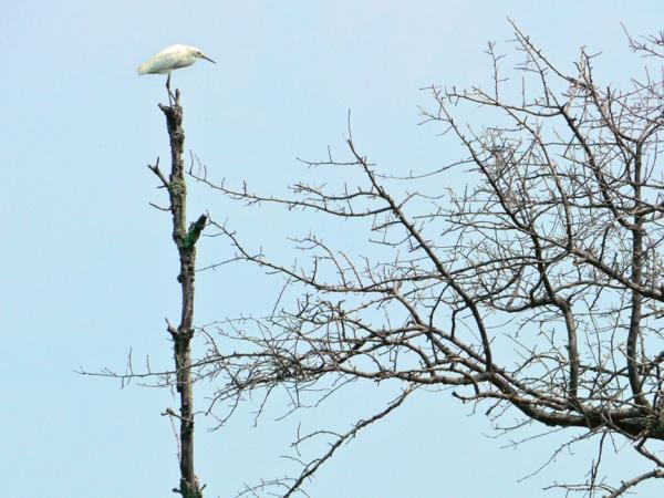 Egret v3 BombayHook_1150605