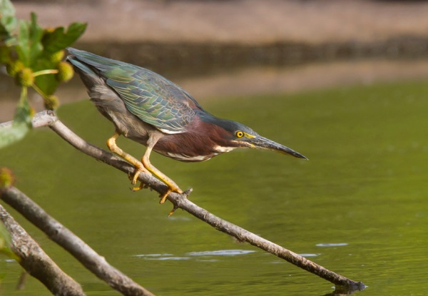 Green Heron Cf v1_MG_0182-2 v4