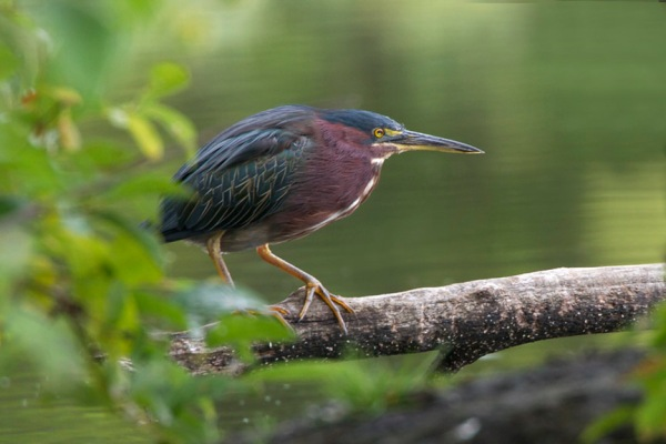 Green Heron v2 Cf_MG_9521