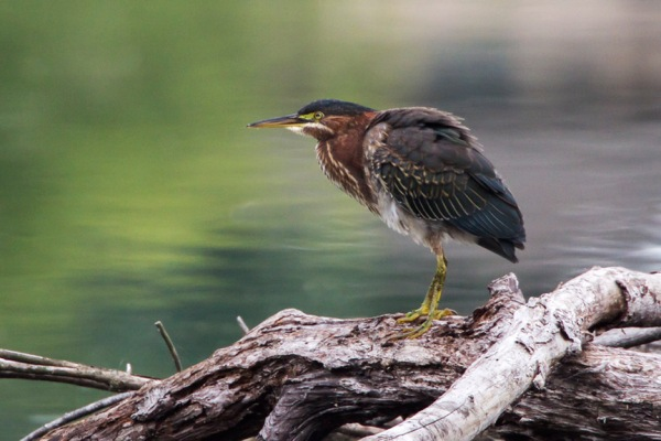 Green Heron v3 cf_MG_9514