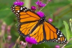 Monarch Butterfly v2 cf_MG_9607