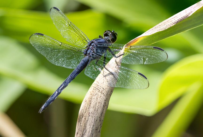 SlatyBlue_Dragonfly_v1 4img_stk_DM_7_!&