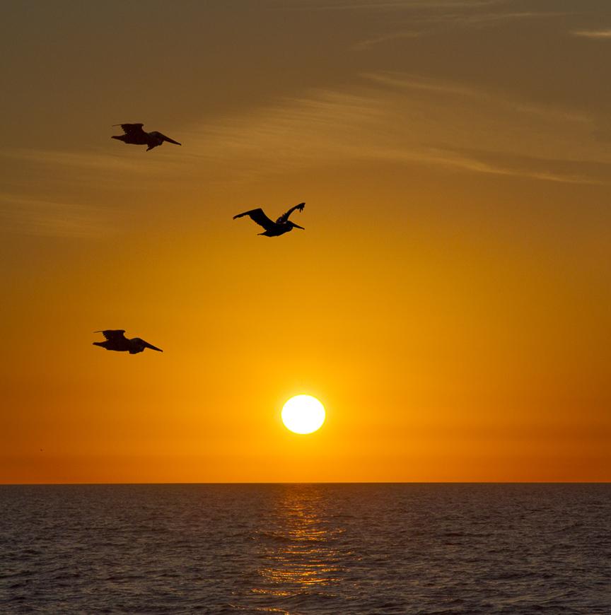 Pelican sunset v4_MG_5500