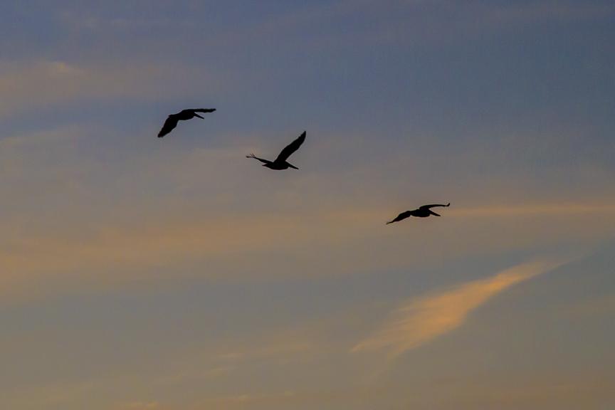 Pelicans Captiva sunset flight v2_MG_5611