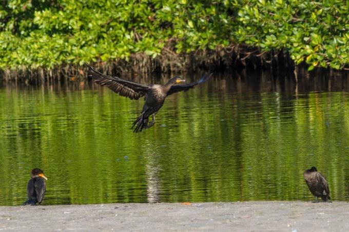 Cormorants v1 ding 11 17_MG_2430