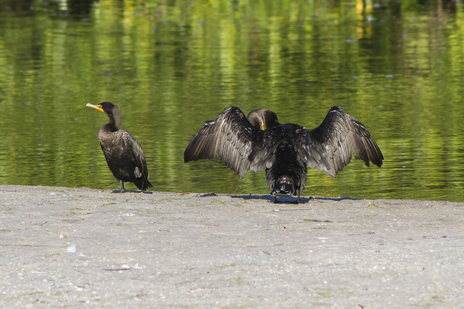 Cormorants v2 Ding 11 17_MG_2403