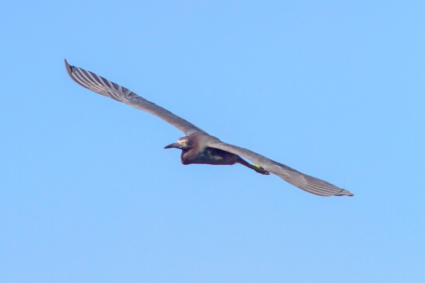Redish Egret v1 Ding 11 17_MG_2548