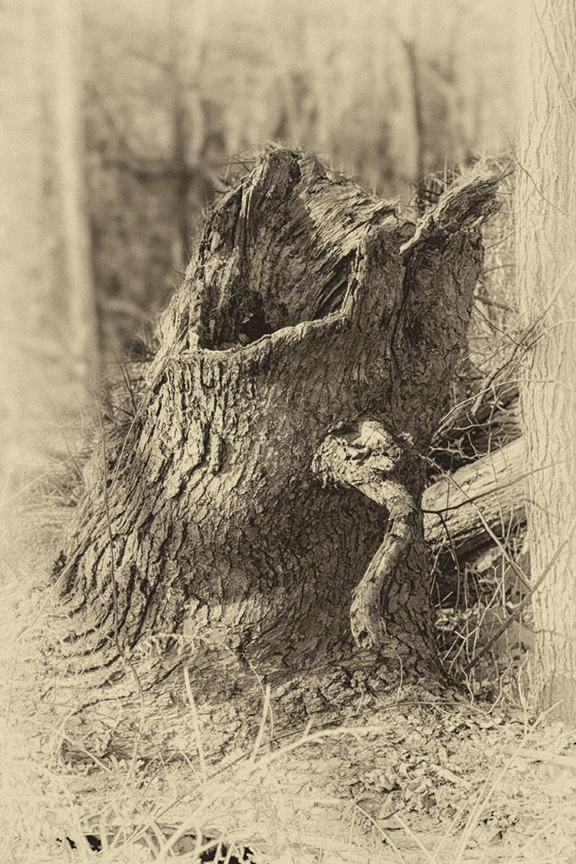 Screaming Tree Stump DM 18 v7 daguerreotype_43G0835