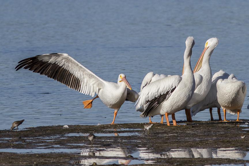 White Pelicans v2 ding 11 17