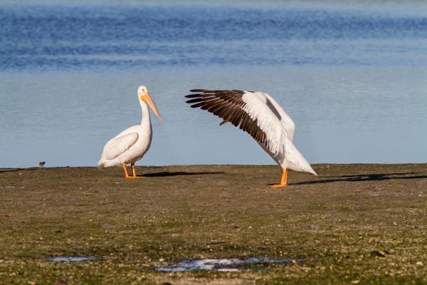 White Pelicans v3 Ding 11 17_MG_2484