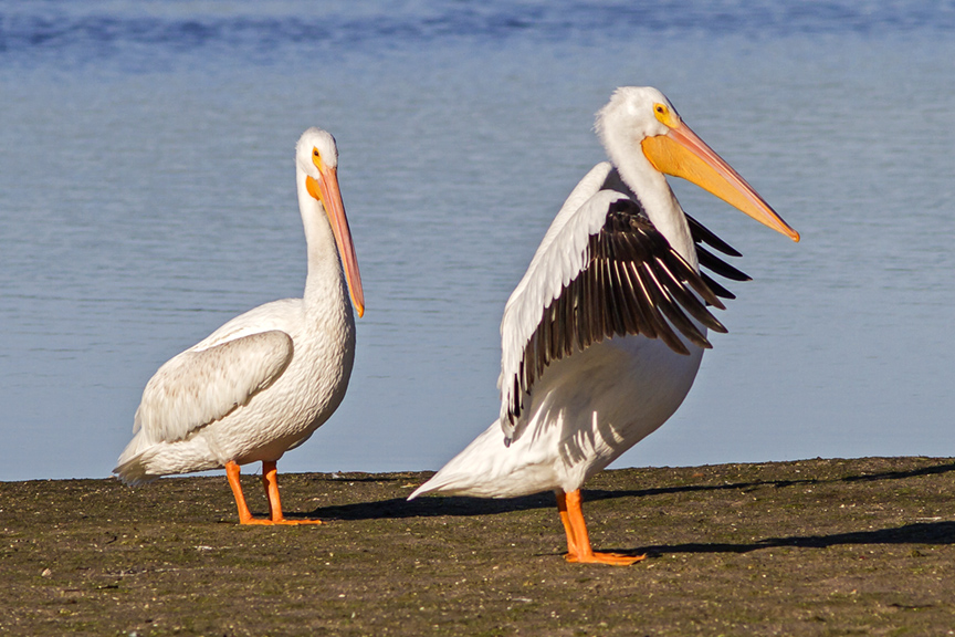 White Pelicans v5 Ding 11 17