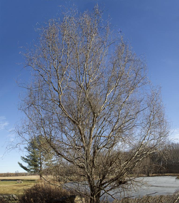 Winter Tree v1 DM 1 18