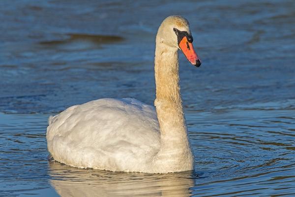 Mute Swan v3 Brig 1 18_43G1228