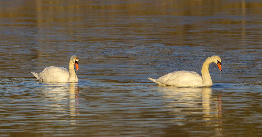 Mute Swans 1 18 Brig 2sht_pano