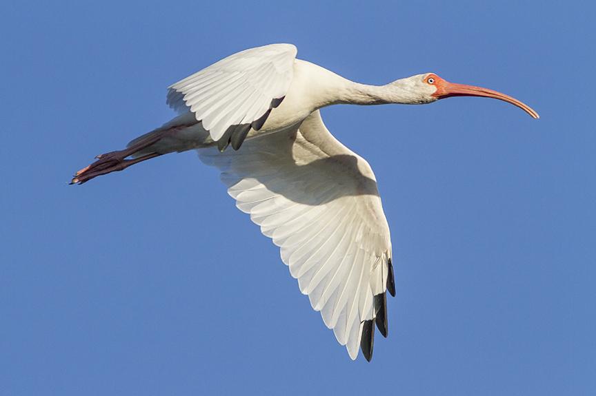 White Ibis v2 Ding 11 17_MG_4597