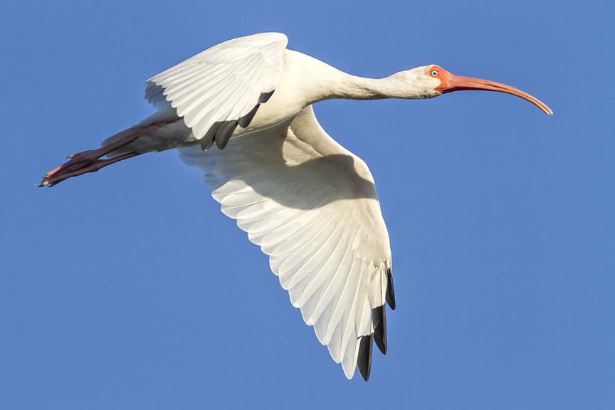 White Ibis v1 Ding 11 17_MG_4597