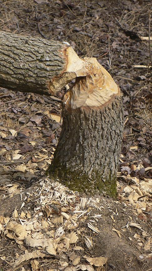 Beaver Tree v1_P1060445