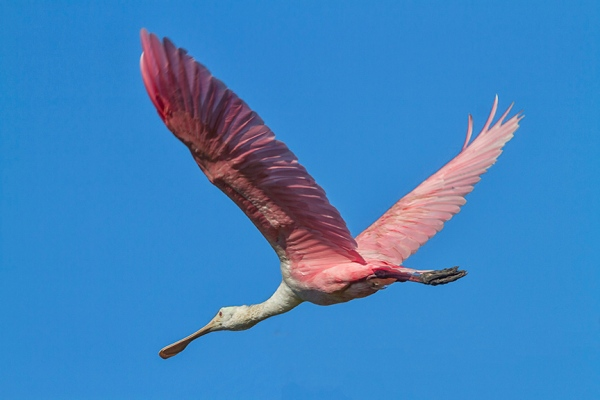 Roseate_Spoonbill_flight_v2_MG_0135