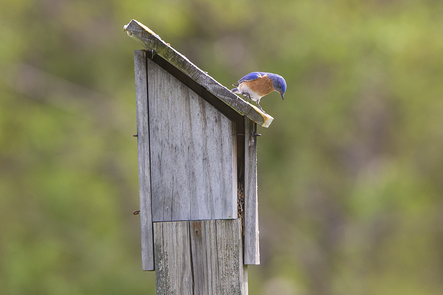 BlueBird_v1_DM18_43G7033
