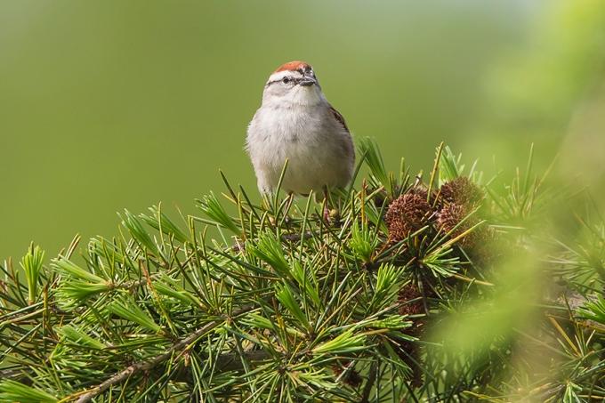 _Chipping Sparrow v2 DM_43G6791