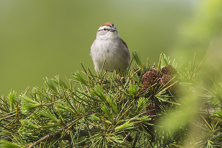 _Chipping Sparrow v2 DM_43G6791