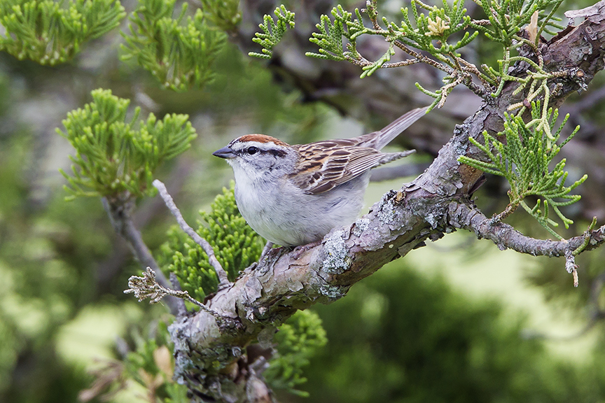 Chipping_Sparrow_v3_DM18_43G6934