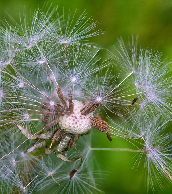 Dandelion Natures Fireworks v2 7img stk