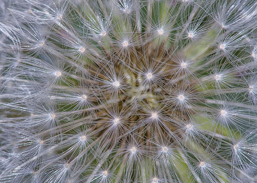 Dandelion stk 5 img a1
