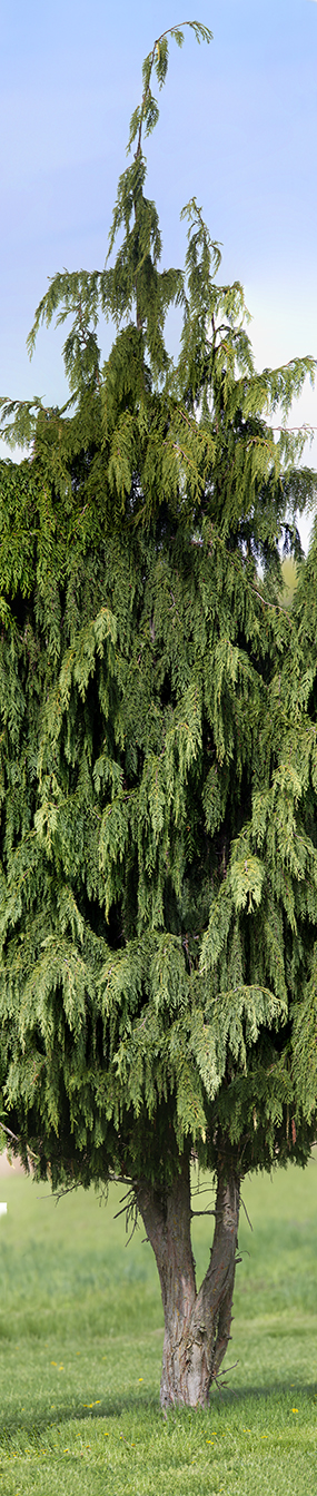 DM Tree 16img Horiz Pano