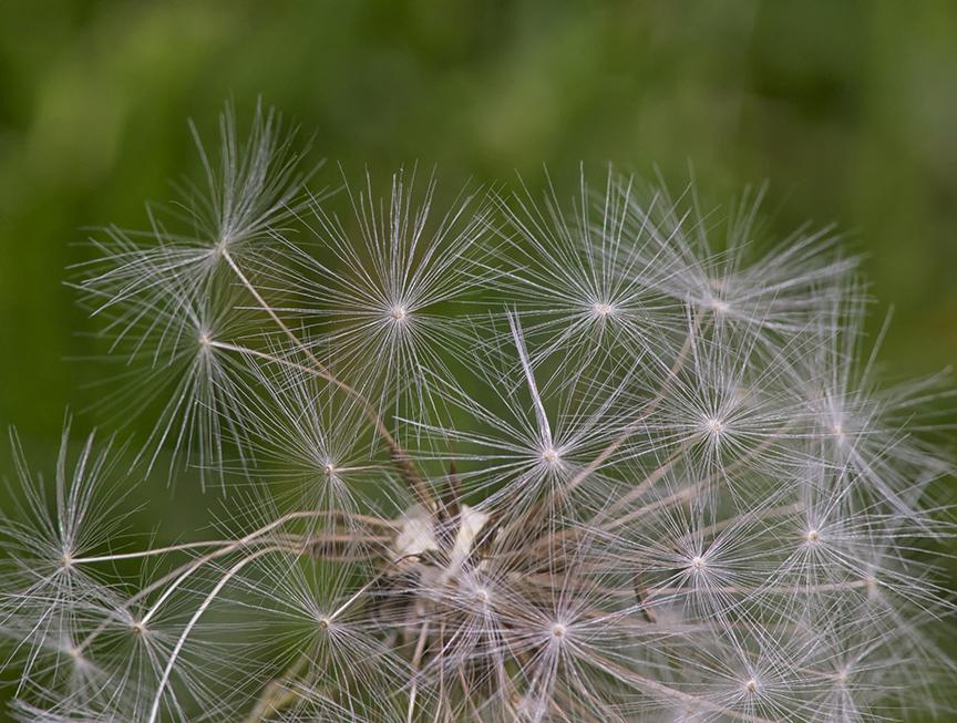 F Dandelion stk 4img v1