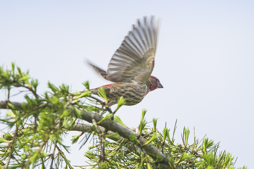 House_Finch TakeOff_v1_DM18_43G6813