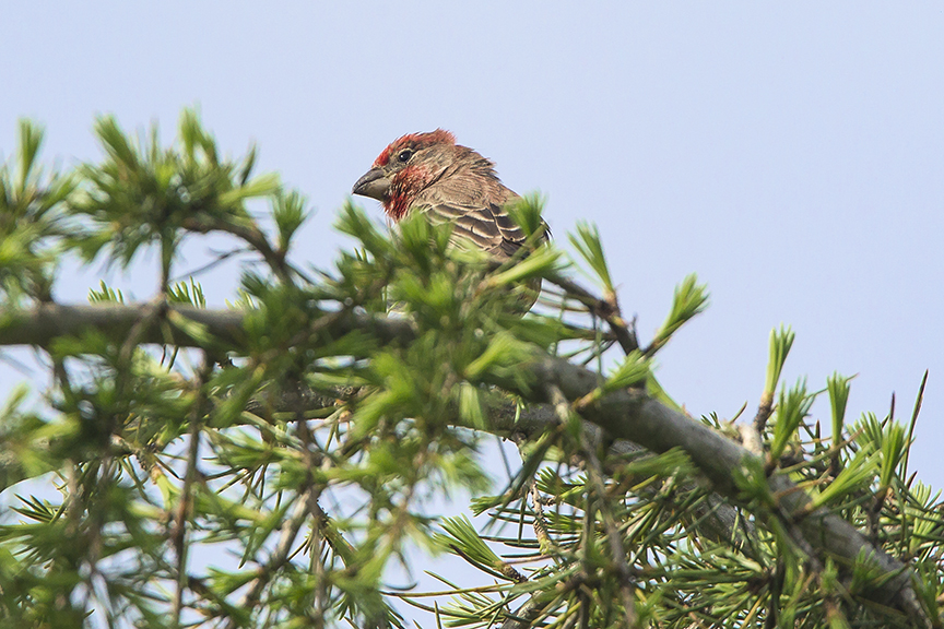 House_Finch_v2 DM18_43G6798