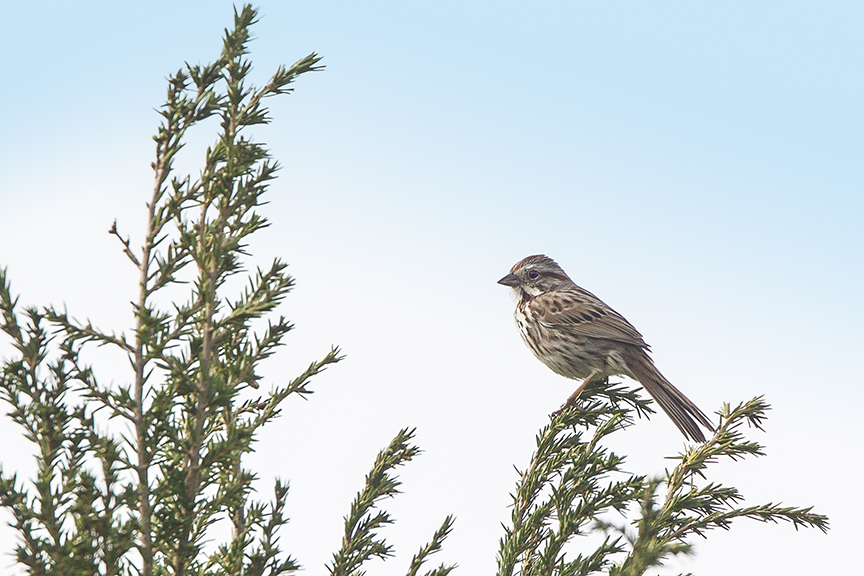 Song_Sparrow_v1_DM18_43G6703