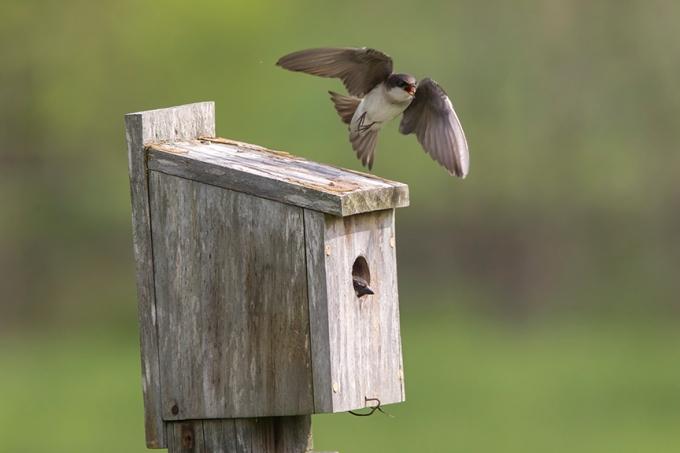 Tree_Swallow BLUBRD Box v2_43G7150