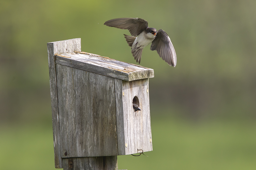 Tree_Swallow BLUBRD Box v2_43G7150