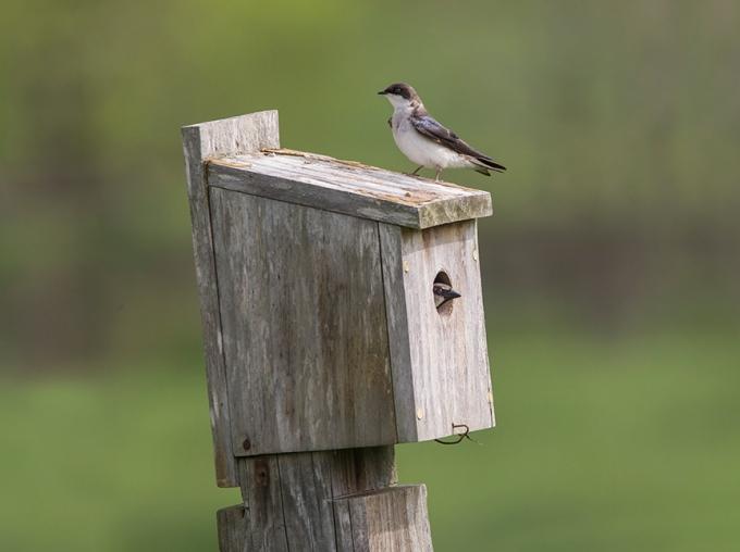 Tree_Swallows_BluBird_Box v2