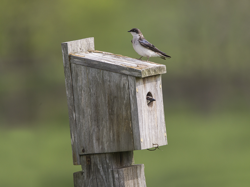 Tree_Swallows_BluBird_Box v2