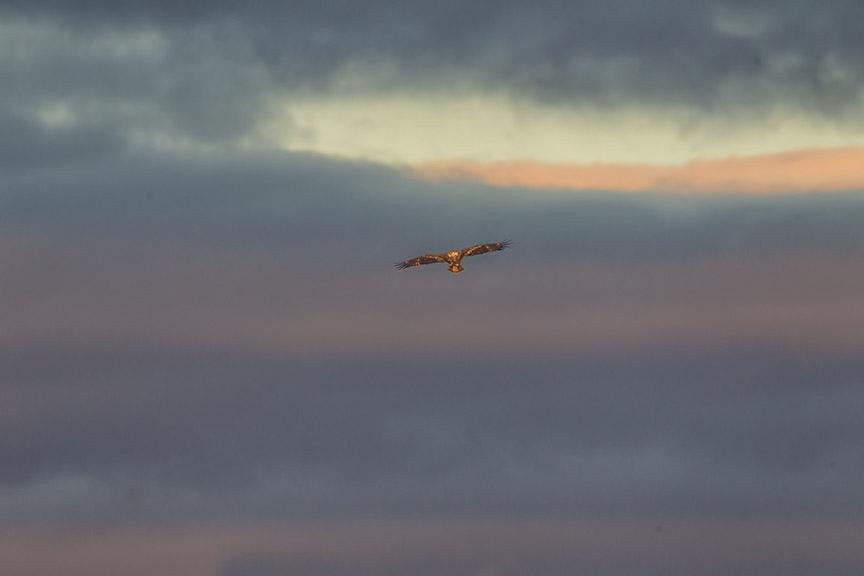 BWR HiFlight_Imm Bald Eagle v1_43G9645