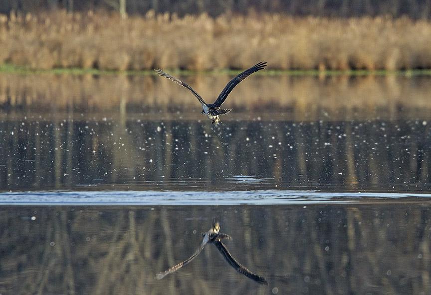 Osprey Fishing_MG_1136