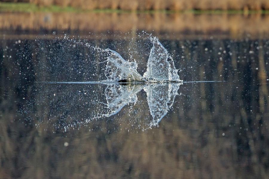 Osprey_Fishing_MG_1120