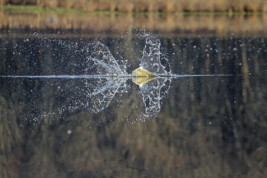 Osprey_Fishing_MG_1121