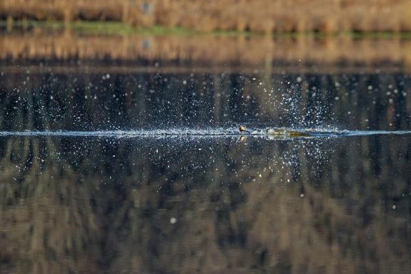 Osprey_Fishing_MG_1123
