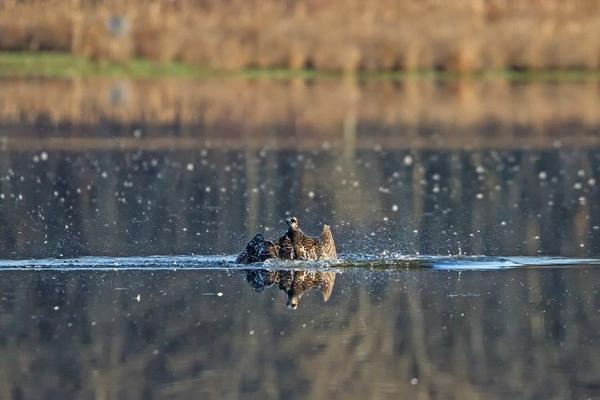 Osprey_Fishing_MG_1125