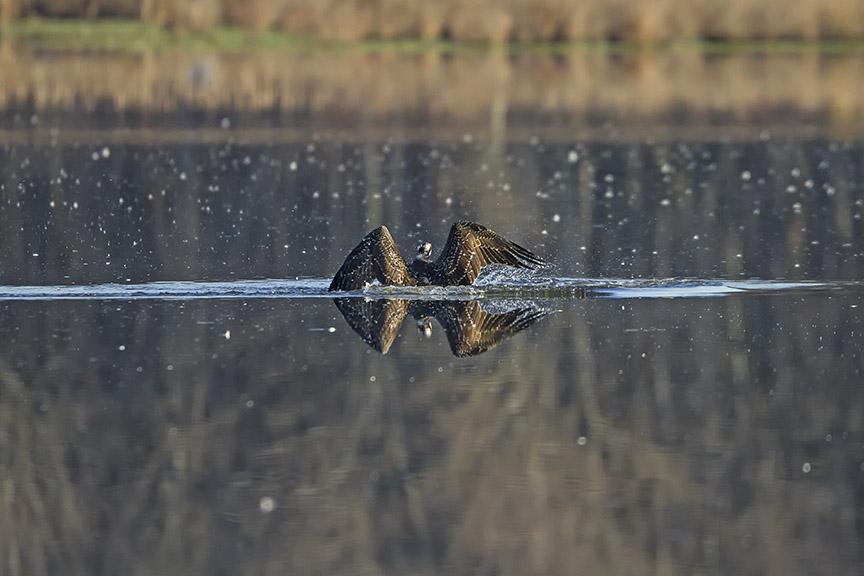 Osprey_Fishing_MG_1126